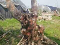 今年买的500元大榆树下山桩 大家怎么看