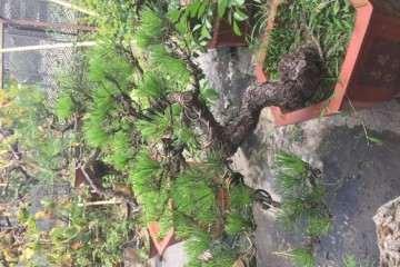 养了六年的黑松盆景 不知道该怎么造型