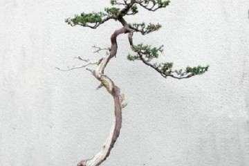 文人树盆景需要禅定的功夫吗