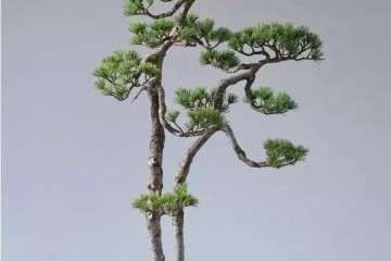 中国文人树与曰本文人树盆景有何不同