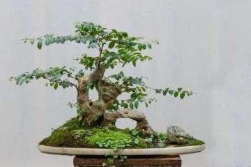 禅意性是文人树盆景艺术的特质吗