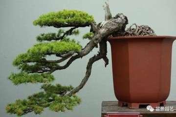 为什么雀梅盆景施肥过多枝叶会陡长