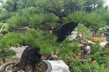 黑松盆景一天浇水两次 结果烂根了