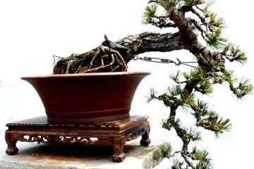 赤松盆景和黑松盆景哪个好