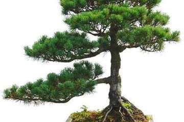 請問各位 夏季黑松盆景可以整形嗎