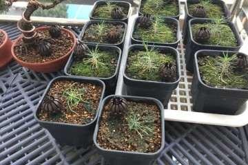 5月轴切三河黑松盆景小苗的方法