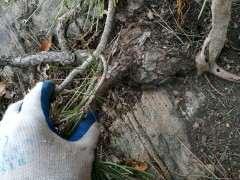 今天挖的疙瘩松树下山桩 大家怎么看