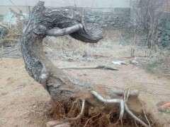 榆树老桩下山桩的萌芽发力很强