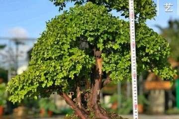 1500元买的雀梅盆景 贵吗