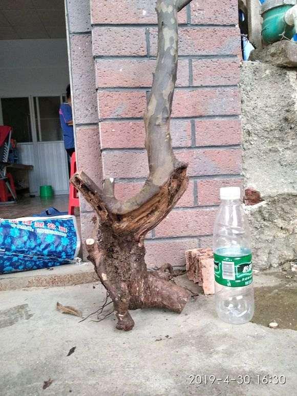 广西最难种活的雀梅下山桩