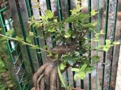 栽种雀梅下山桩这一年的变化