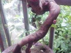 雀梅下山桩是一直没发芽 伤口上都起瘤了