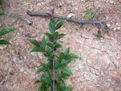 这是不是雀梅下山桩 枝条上有小刺