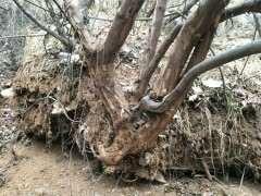 本人挖到大型雀梅下山桩 有几百斤
