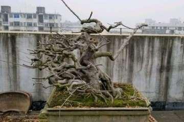 南宁大师级雀梅盆景欣赏