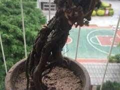 为什么纯山沙栽种雀梅下山桩最好