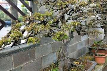 请欣赏 南宁花鸟市场里的雀梅盆景