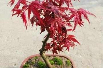 红枫盆景怎么摘叶技巧 图片