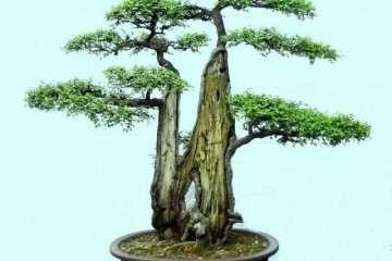 榆树小苗该如何做成盆景 图片