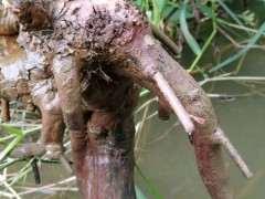 泡水里十二天的雀梅下山桩发芽了