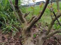 剪2棵4年的雀梅下山桩 一级枝基本到位