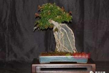 图解 附石三角枫怎么摘叶和修剪的方法