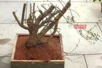 圖解 雜亂灌木怎么制作成叢林盆景的方法