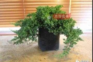 图解 秋季柏树盆景怎么扦插繁殖的方法
