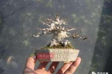 图解 怎么培养三角枫老桩盆景的枝节