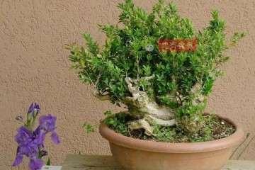 图解 黄杨盆景疙瘩怎么造型的方法