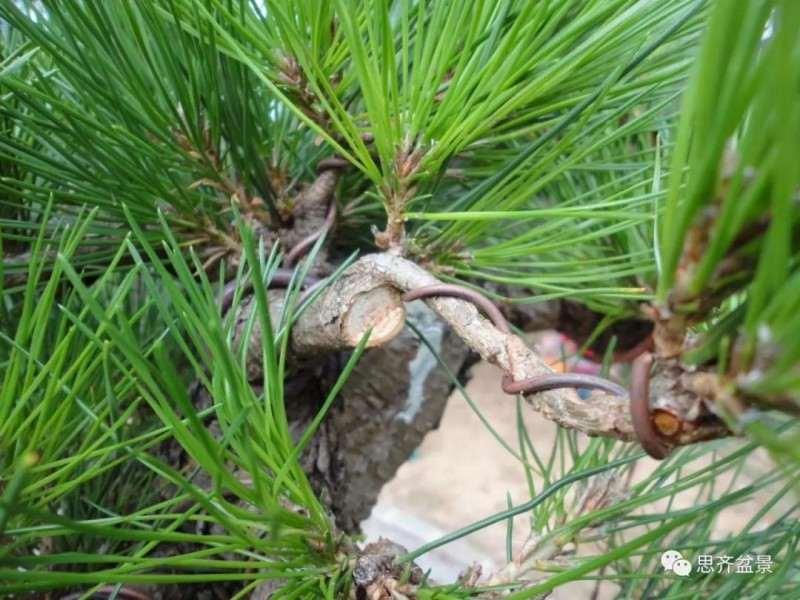 一颗黑松盆景8年的培养过程