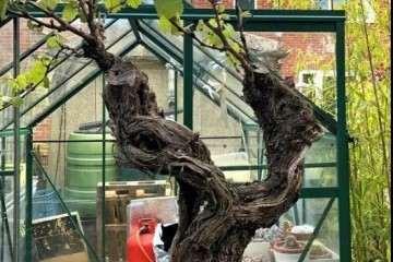 图解 葡萄盆景老桩怎么制作舍利干