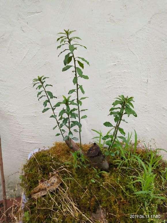 金弹子下山桩生桩的发芽和生根什么回事