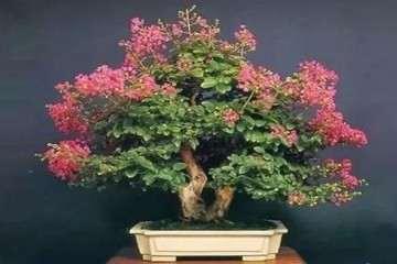 紫薇盆景怎么施肥澆水的方法