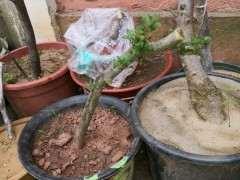 下山桩泡生根粉水半月直接发芽了