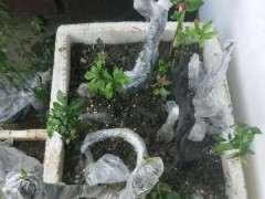 下山樁土壤怎麼配置肥料的方法