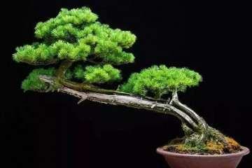 怎么提升盆景植物体枝条的光照和通风