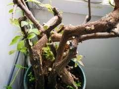 下山桩生桩回芽了 芽干了后 会再发芽吗