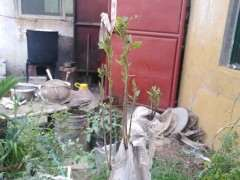 春天下山桩不发芽 为什么给套袋后出芽