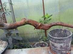 金弹子下山桩生桩生根用赤玉土与蛭石哪个好