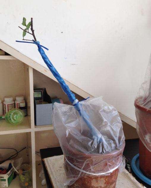 关于下山桩生桩的缠膜和套袋的方法
