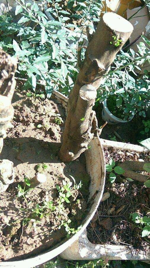 大家的金豆下山桩生桩都发芽了没
