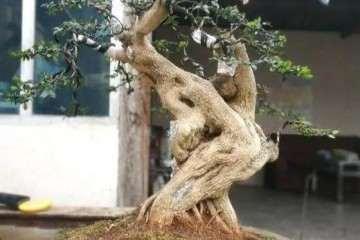 树木盆景修剪后虚弱不可施肥过重