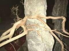 雀梅下山桩生桩可以制作抱石造型吗
