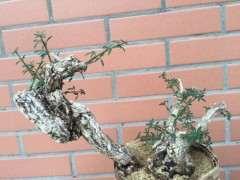 下山桩生桩栽下2个多月 叶子要剪掉吗