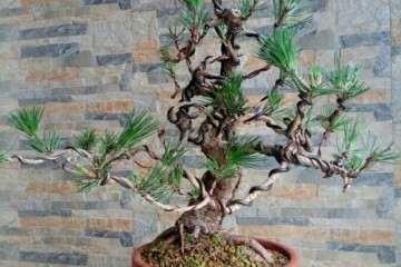1棵樹齡20多年的老樁黑松盆景 圖片