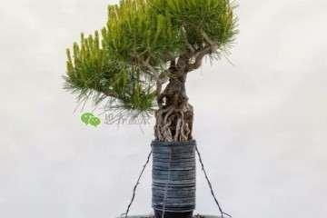 图解 提根赤松盆景怎么整根的方法