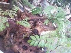 清香木下山裸根生桩一星期就发芽 怎么办