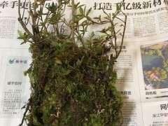 室外栽種杜鵑下山樁 發芽很慢怎麼辦