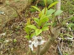 桃树熟桩嫁接现在 成活率很高吗